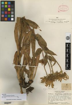 Image of Hymenoxys pinetorum