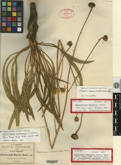 Image of Helianthella madrensis