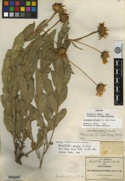Image of Flourensia pringlei