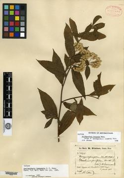 Image of Archibaccharis irazuensis