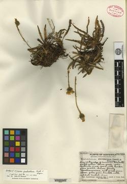 Image of Hieracium guatemalense