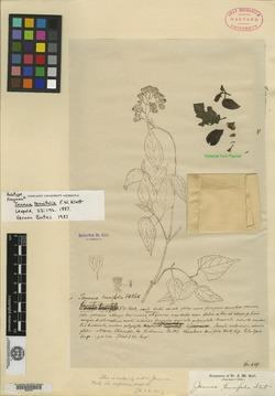 Image of Bartlettina karwinskiana