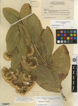 Image of Acourtia durangensis
