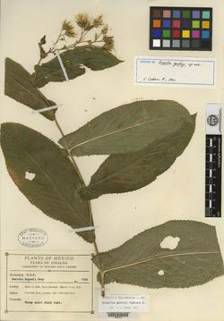 Image of Acourtia gentryi