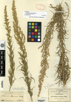 Image of Artemisia revoluta
