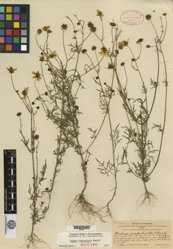 Image of Bidens carpodonta