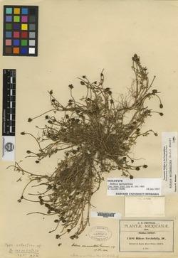 Image of Bidens sarmentosa