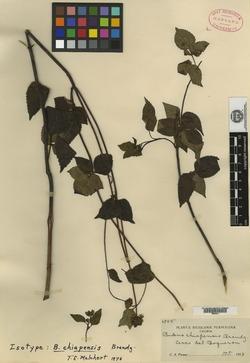 Image of Bidens chiapensis