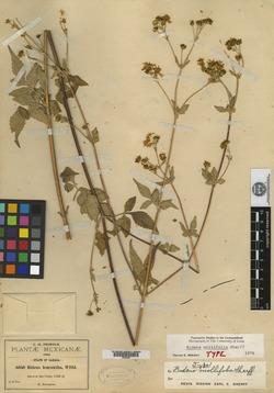 Bidens mollifolia image