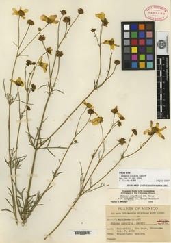 Image of Bidens insolita