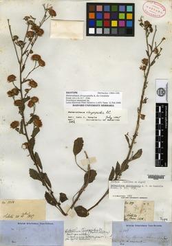 Image of Heterotheca chrysopsidis