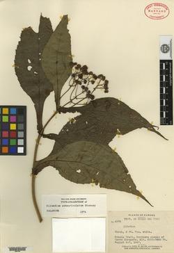 Clibadium sessile image