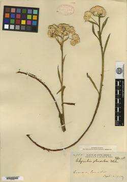 Achyrocline glandulosa image