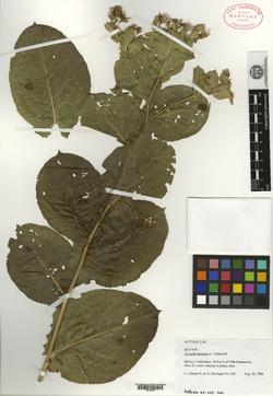 Image of Acourtia butandae