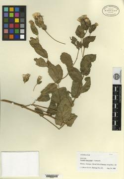 Image of Acourtia intermedia