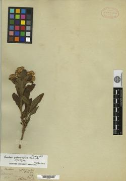 Baccharis sphaerocephala image