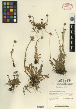 Image of Astranthium beamanii