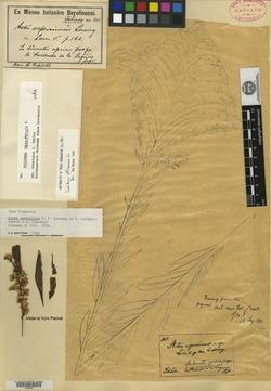 Image of Aster asperrimus