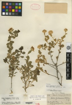 Image of Aster frutescens