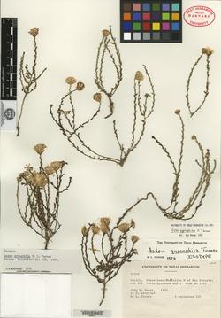 Image of Symphyotrichum gypsophilum