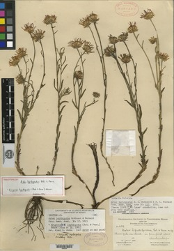 Image of Aster lepidopodus