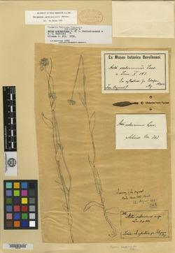 Image of Aster scaberrimus