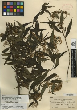 Image of Archibaccharis androgyna