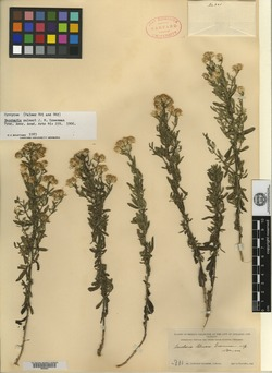 Image of Baccharis palmeri