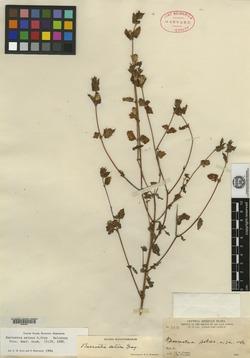 Image of Barroetea setosa