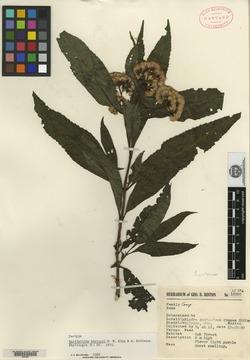 Image of Bartlettina hintonii