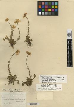 Image of Astranthium orthopodum