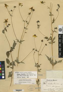 Image of Bidens bicolor