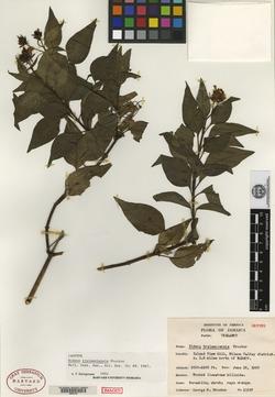 Image of Bidens trelawniensis