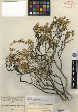 Image of Brickellia glutinosa