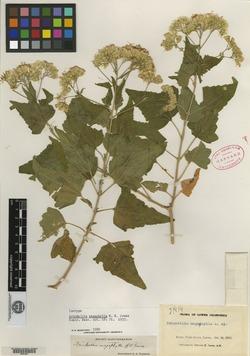 Image of Brickellia megaphylla