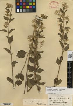 Image of Brickellia nelsonii