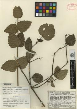 Image of Calea crassifolia