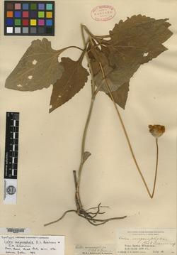 Image of Calea megacephala