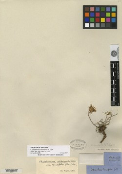 Chaetanthera chilensis image