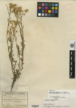 Conyza microcephala image