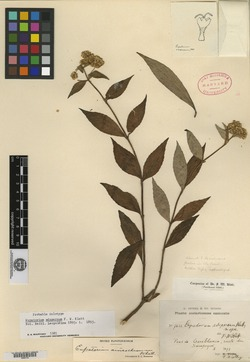 Image of Ageratina anisochroma