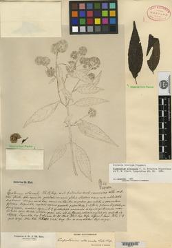 Image of Eupatorium albicaule