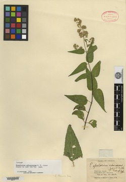 Image of Eupatorium arborescens