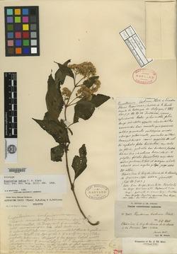 Image of Ageratina badia