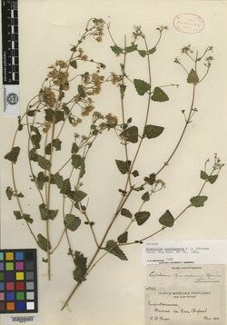 Image of Ageratina brandegeana