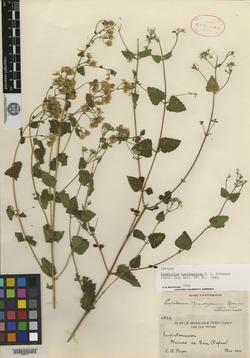 Image of Ageratina brandegeana