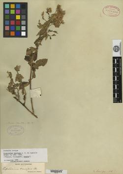 Image of Eupatorium brevipes