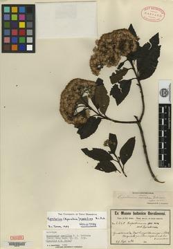 Image of Ageratina caeciliae