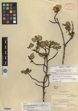 Image of Ageratina campyloclada