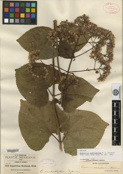 Ageratina cardiophylla image